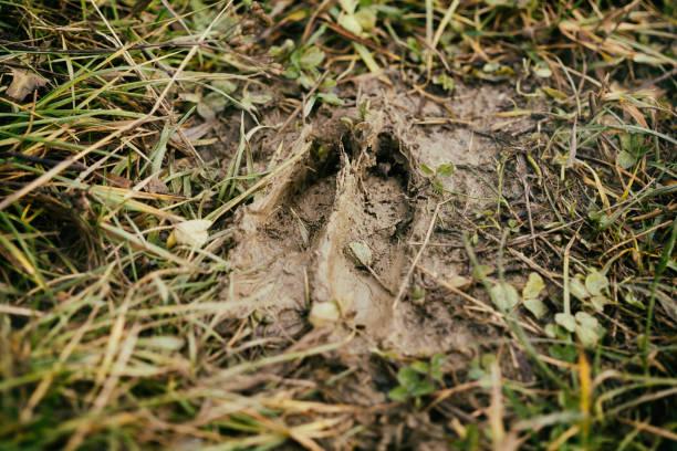 Huella de ciervo en el barro. - foto de stock