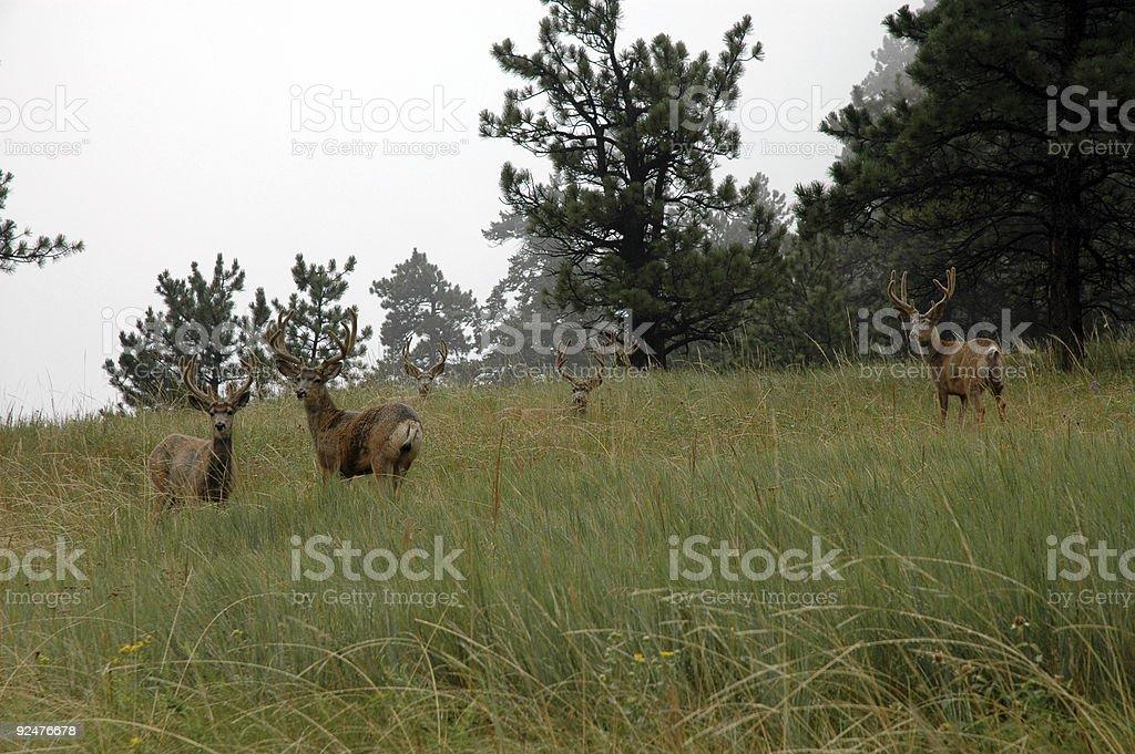 Deer Gathering royalty-free stock photo
