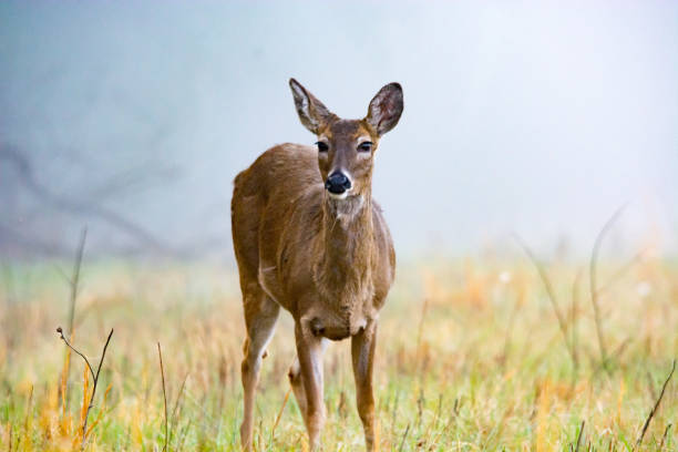 A deer grazes stock photo