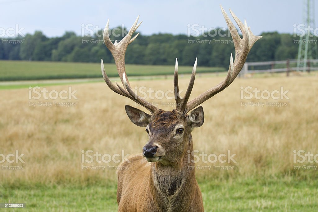 Deer grazing in the meadow stock photo
