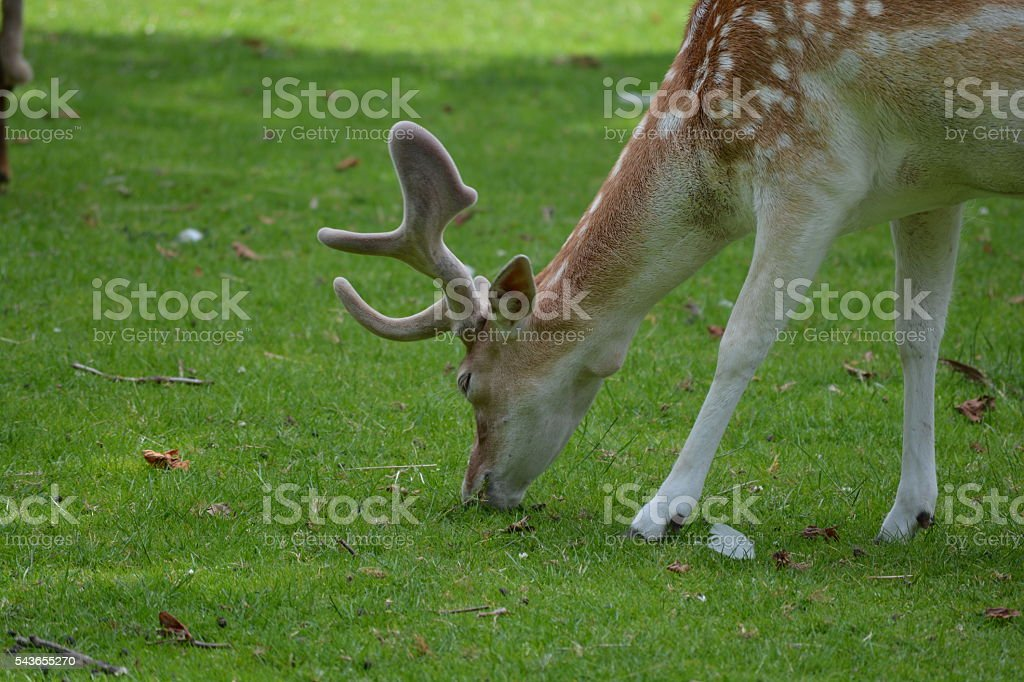Deer grazing stock photo