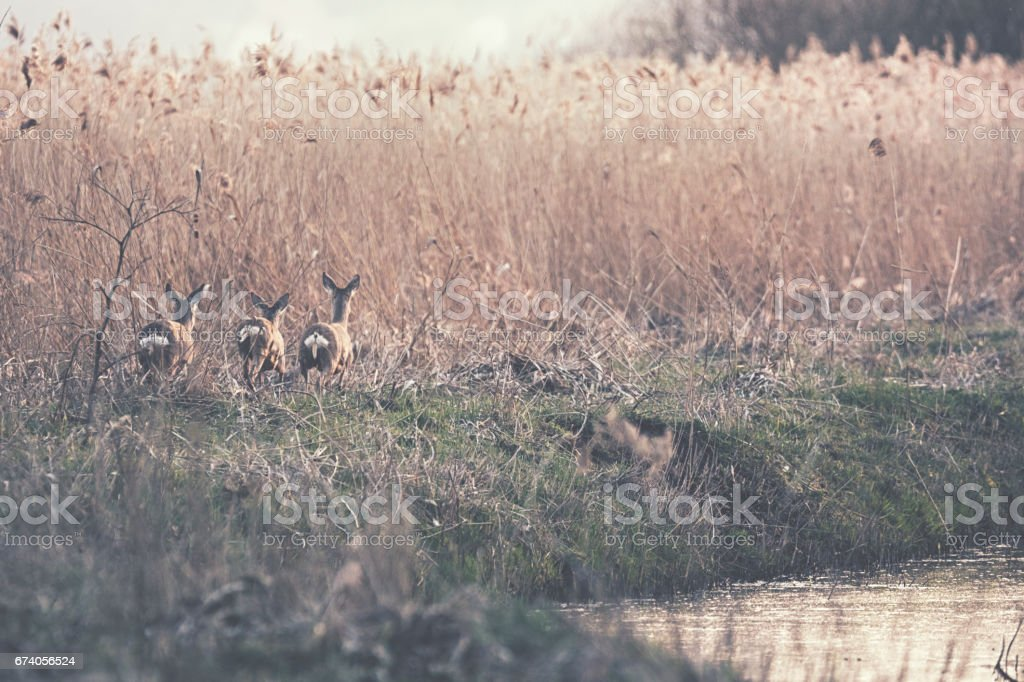 Deer group in the meadow on a foggy cold day in winter royalty-free stock photo