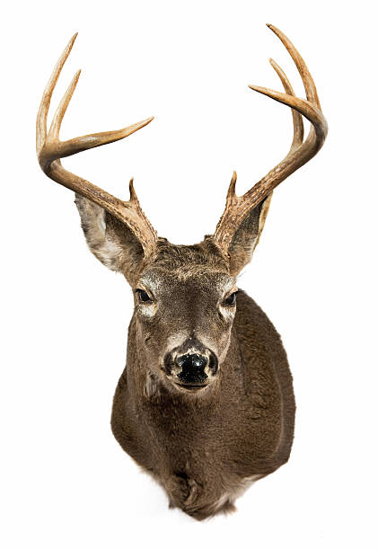 deer head - antlers stock photos and pictures
