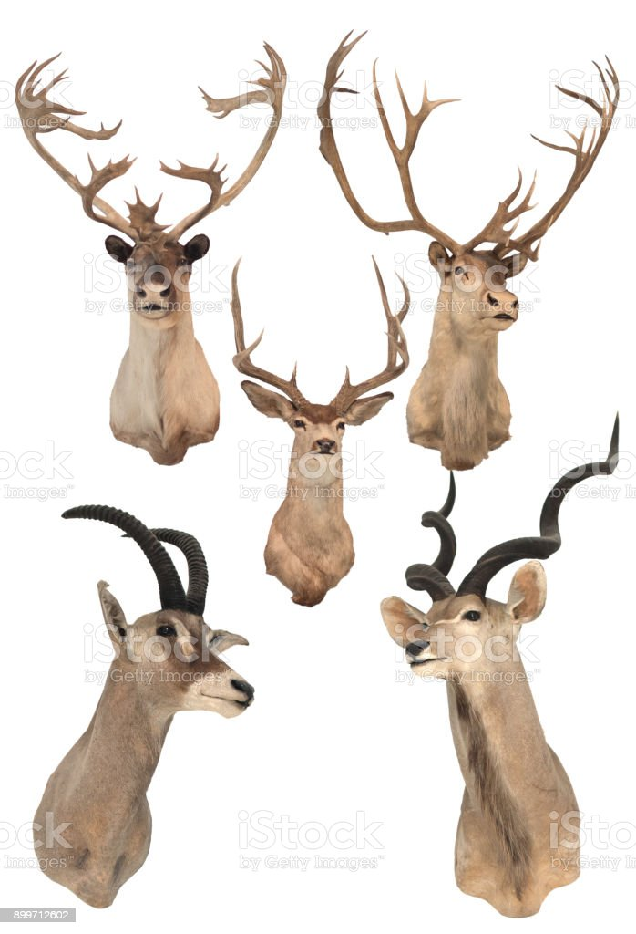 Deer heads on the white wall stock photo