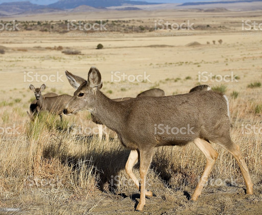 Deer herd royalty-free stock photo