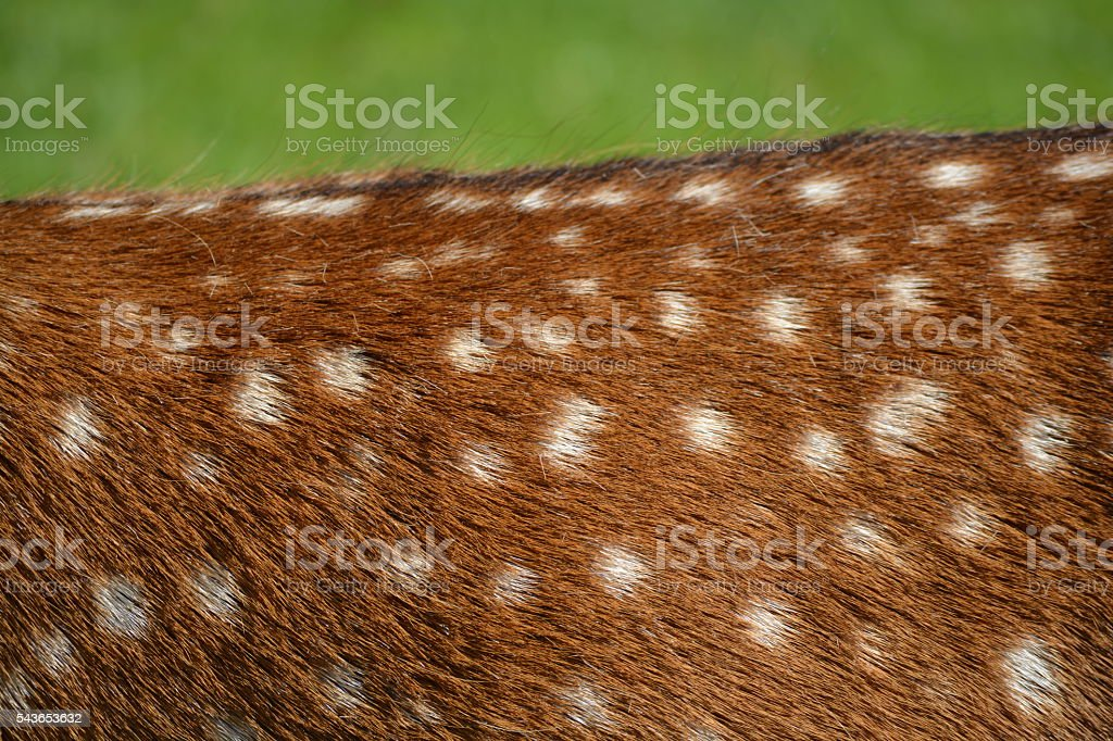 Deer hide stock photo