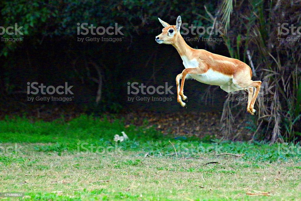 deer high jumping in jungle stock photo
