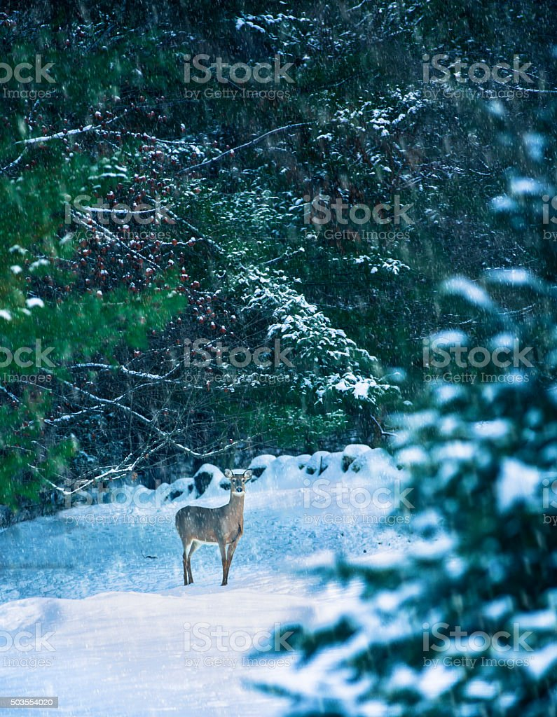 Deer in a Snowy Glade stock photo