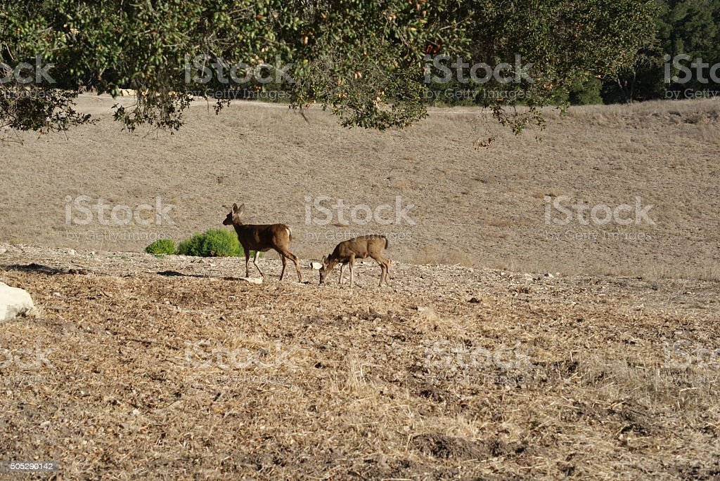 Deer in Arid Climate stock photo