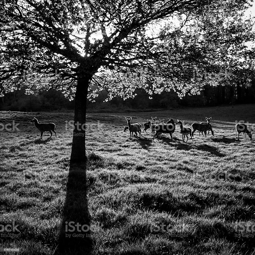 Deer in Ashton Court Estate, Bristol, U.K. stock photo