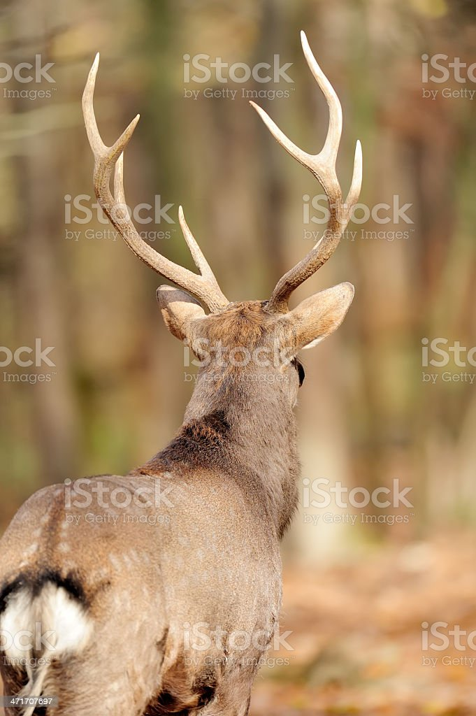 Deer in autumn forest stock photo
