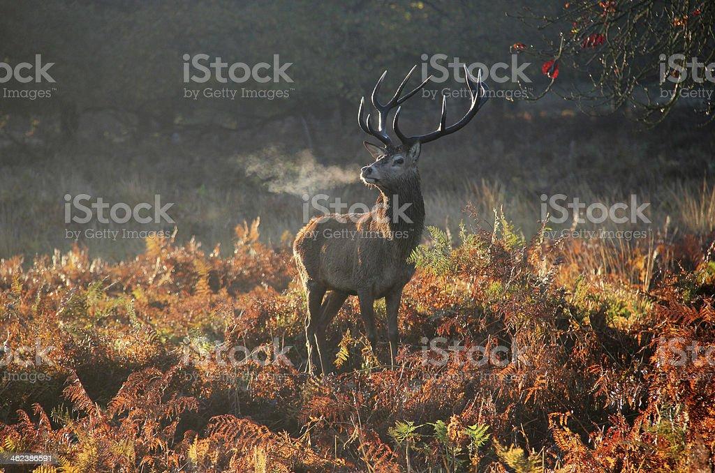 Deer in autumn stock photo