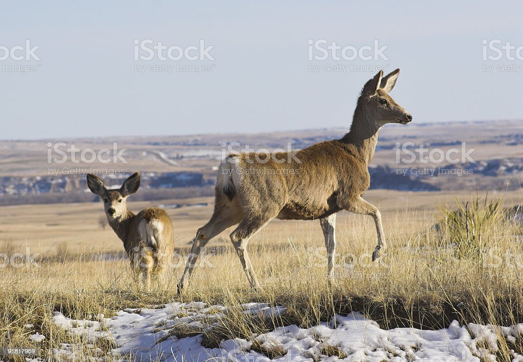Deer in Badlands National Park royalty-free stock photo