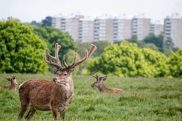 Deer in city park. Urban wildlife stock photo