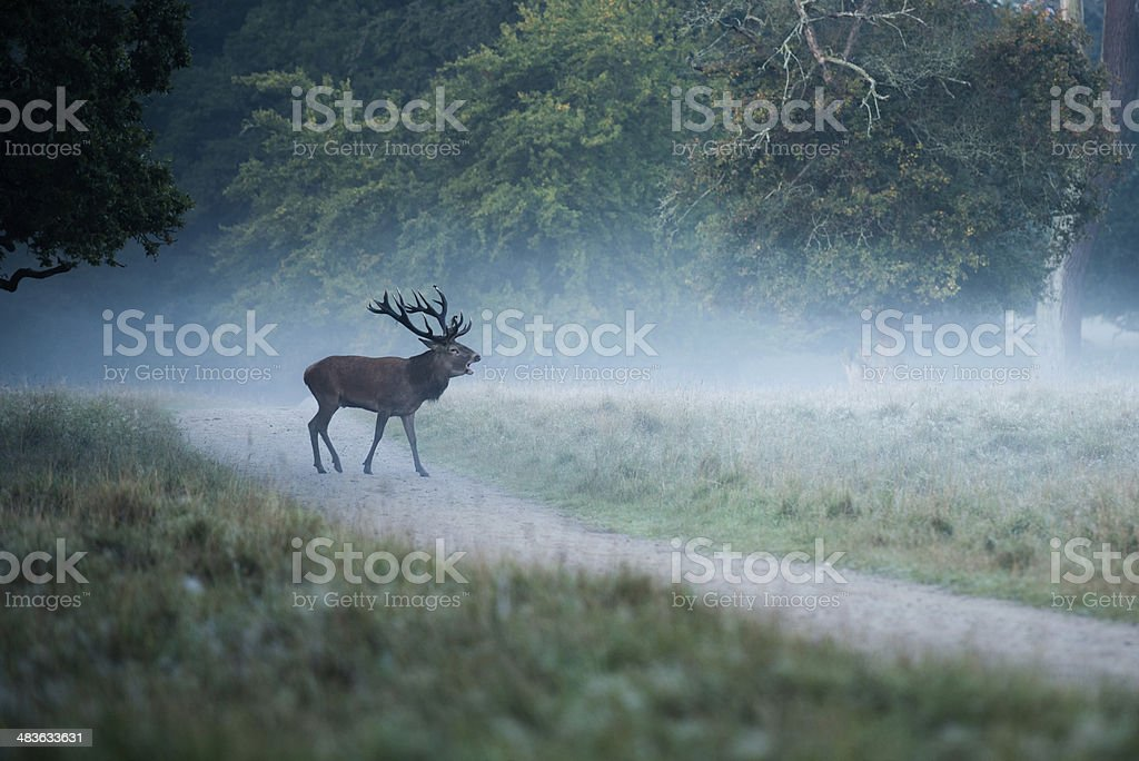 Deer in foggy forest stock photo