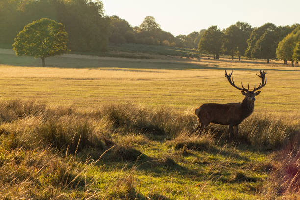 deer in foreground - richmond park stock photos and pictures