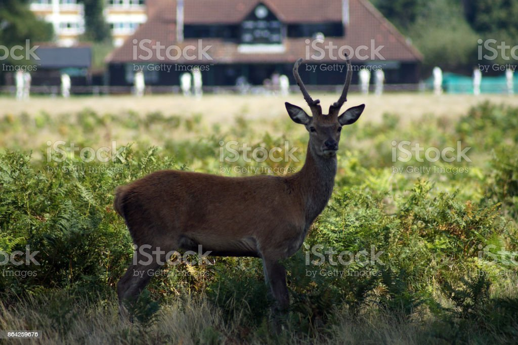 Deer in front of a cricket pavilion royalty-free stock photo