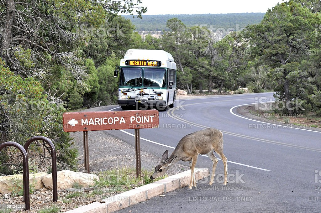 deer in front of shuttlebus stock photo