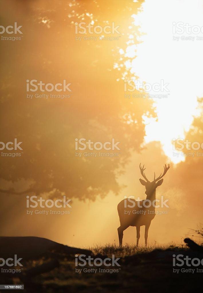 Deer in Golden Light stock photo