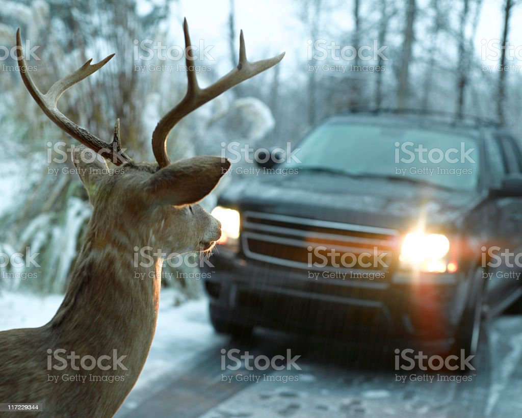 Deer in Headlights stock photo