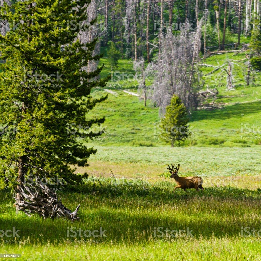 Deer in Meadow stock photo