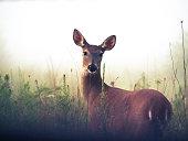Deer in Meadow with Morning Fog