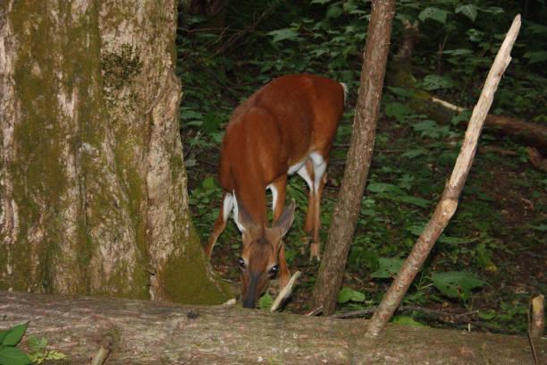 Deer in natural surroundings stock photo