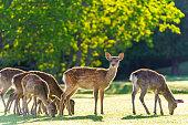 Deer in Park, Japan