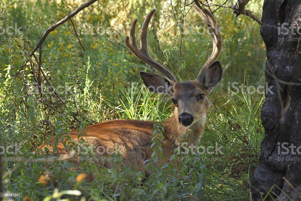 Deer in park royalty-free stock photo