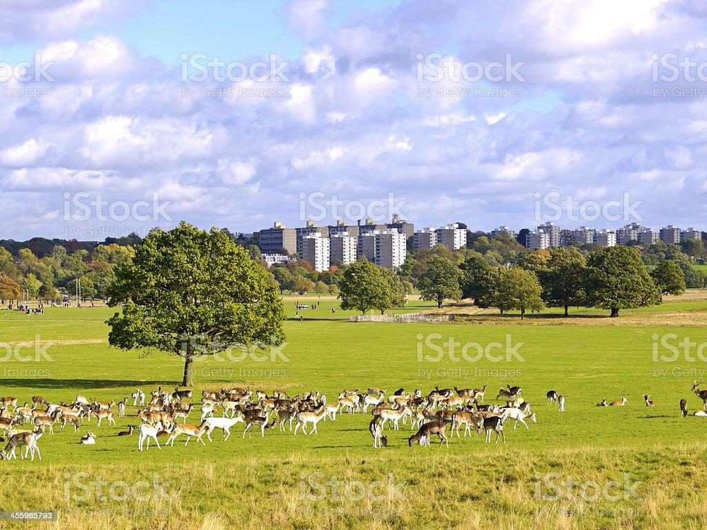 Deer in Richmond Park, London, UK stock photo
