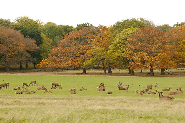 deer in richmond park - richmond park stock photos and pictures