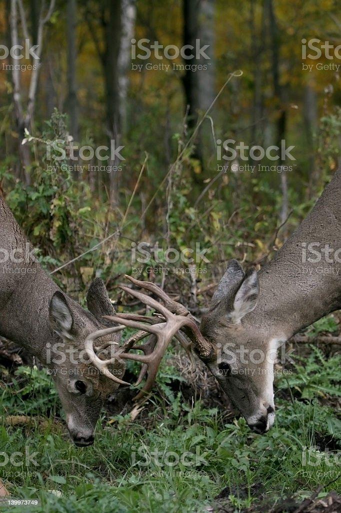 deer in rut stock photo