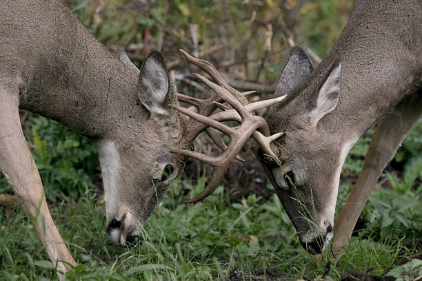 Deer in Rut two male white tail deer battling for a female rutting stock pictures, royalty-free photos & images