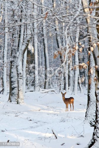 Deer in early sunbeam in a still forest, looking at you. Trees white after blizzard. Copy space in foreground.