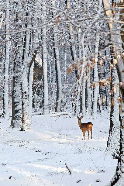 deer in snow-covered forest - forest animals stock photos and pictures