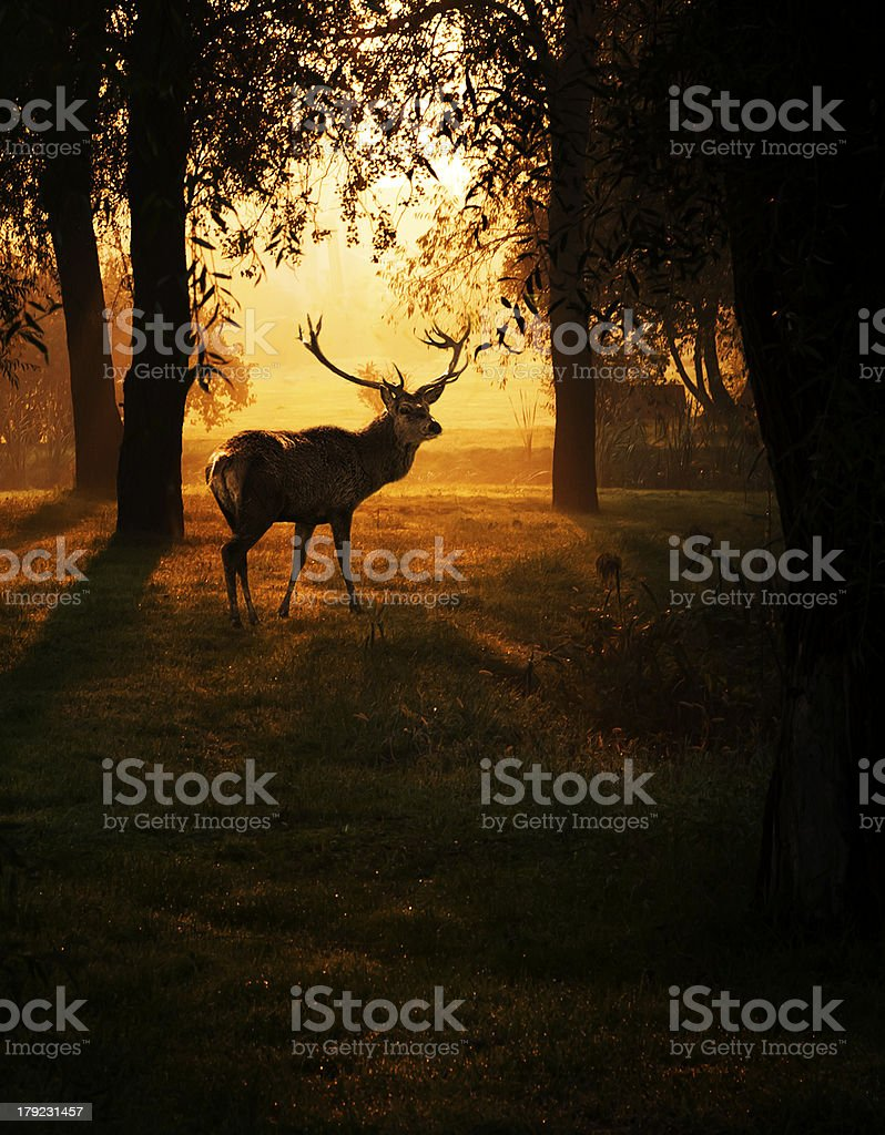 Deer in sunrise stock photo
