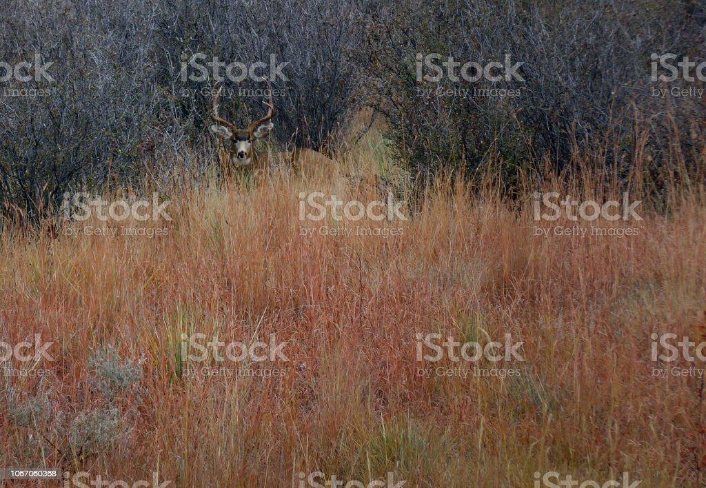 Deer in the Blind stock photo