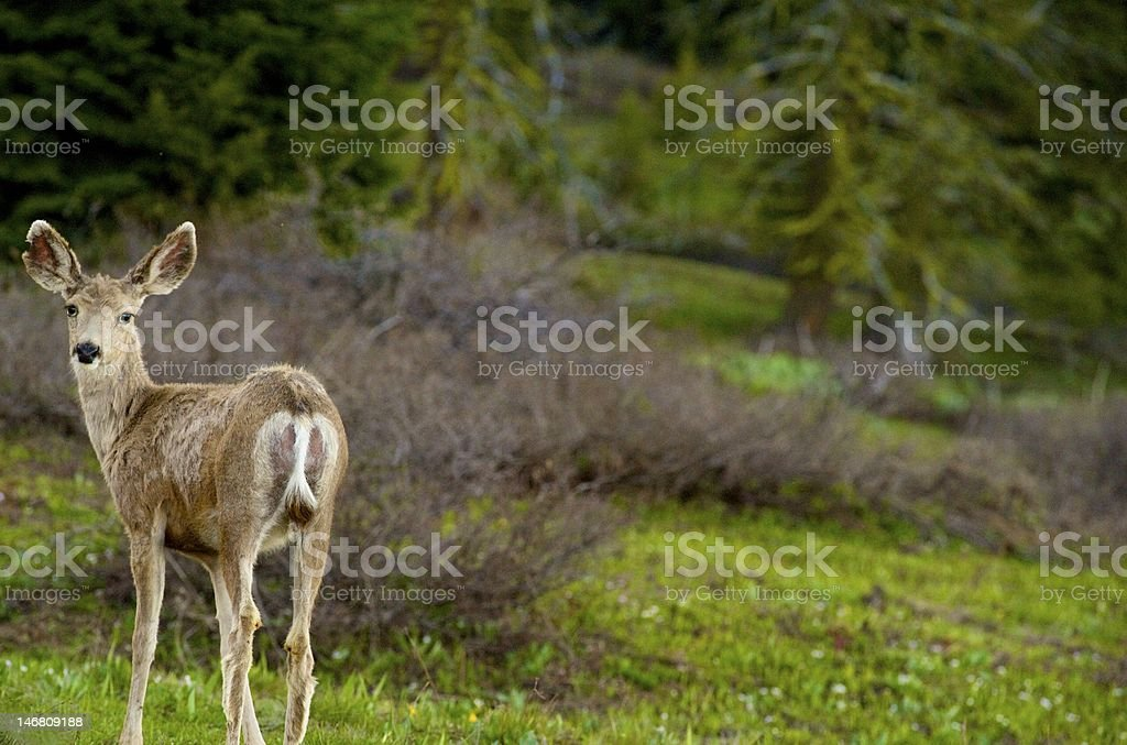 Deer in the Canyon stock photo