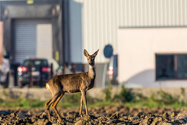 Deer in der Stadt – Foto