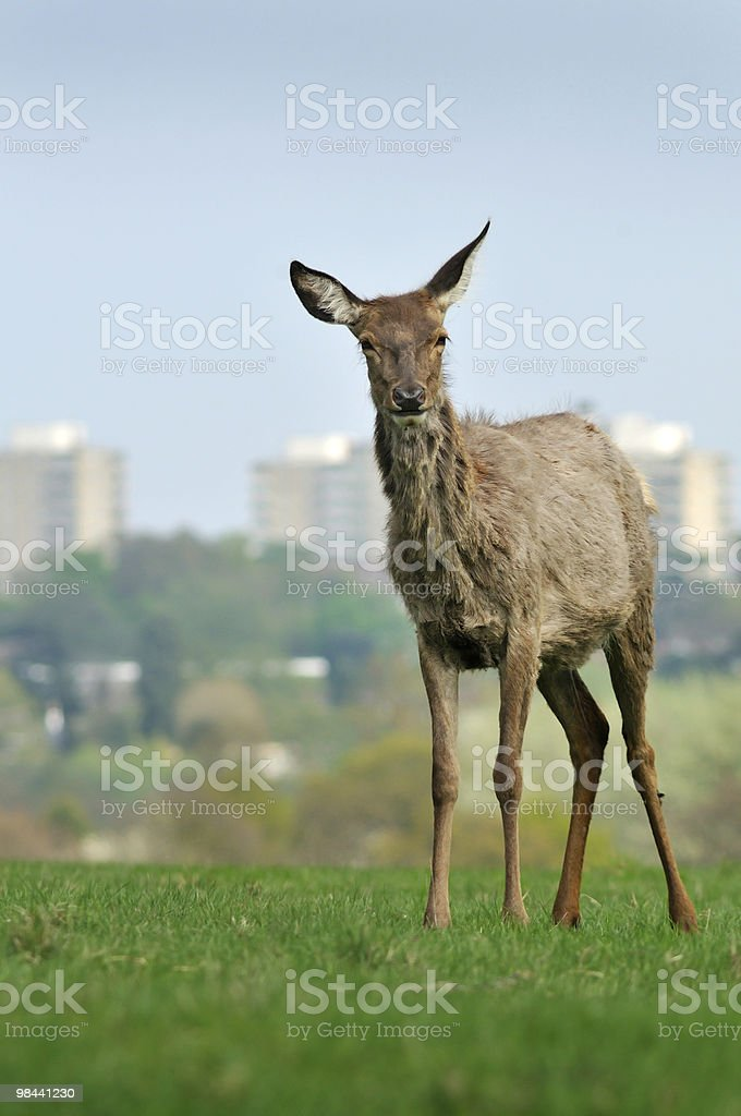 Deer in the city royalty-free stock photo