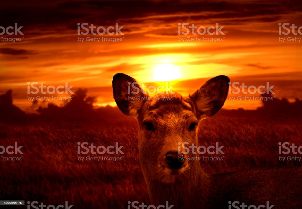 Deer in the field with the sunset background stock photo