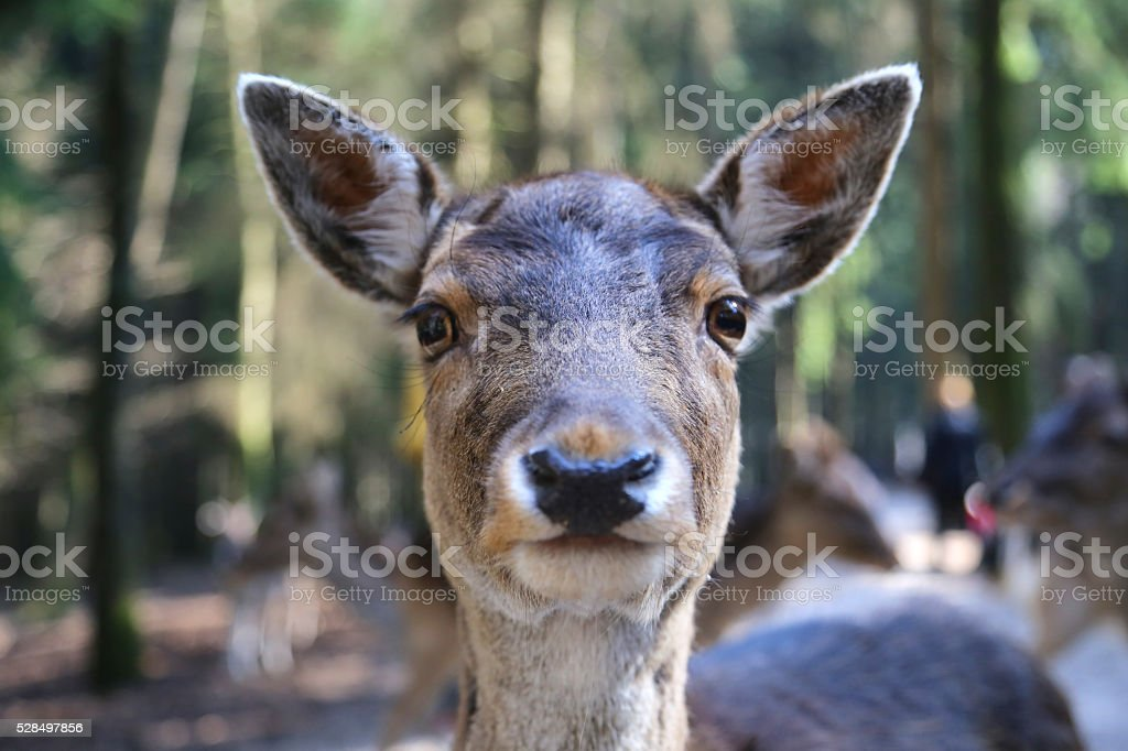 deer in the forest, macro stock photo