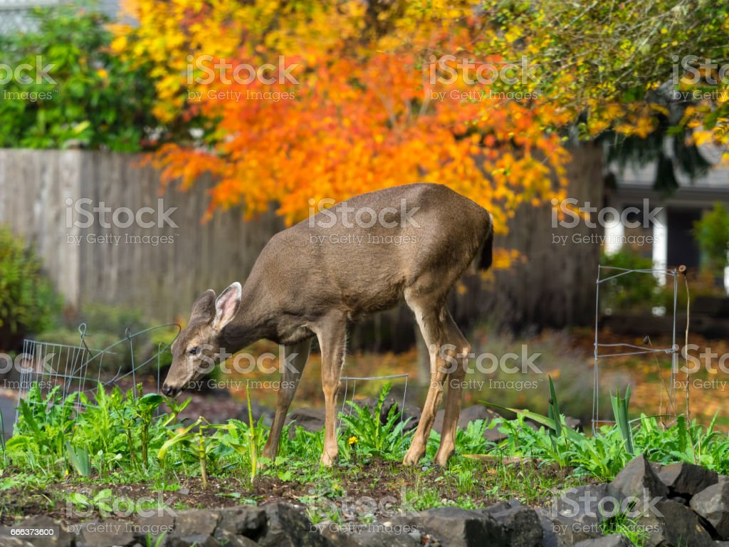 Deer In The Garden stock photo