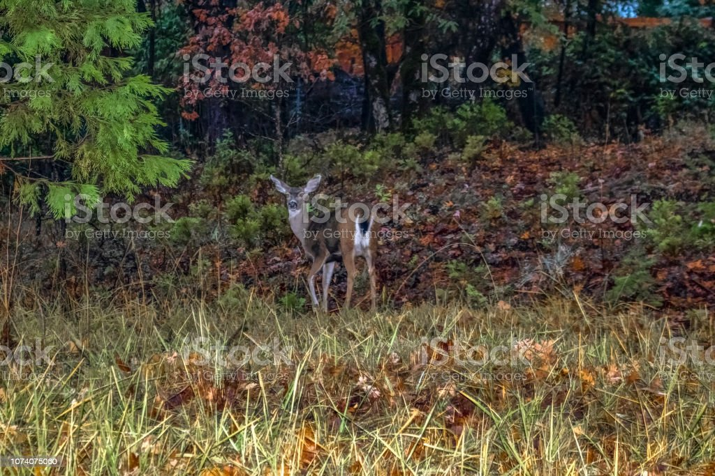 Deer in the headlights.....deer at the edge of the forest in the...