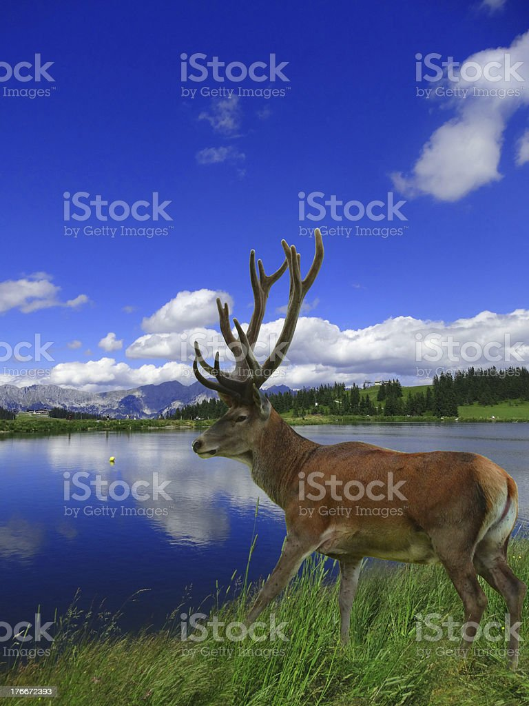 Deer in the Highlands royalty-free stock photo