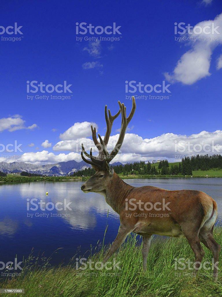 Deer en las Highlands foto de stock libre de derechos