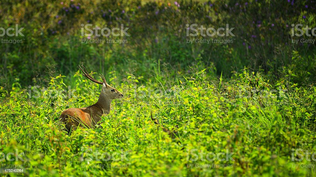 Deer in the national park in Thailand stock photo