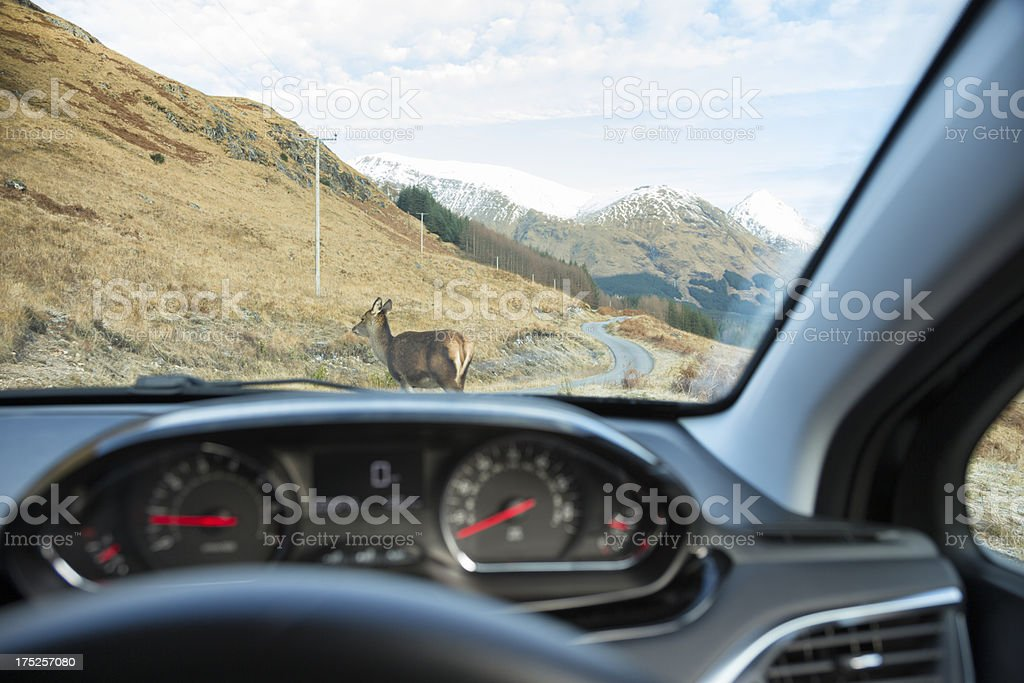 Deer In The Road royalty-free stock photo