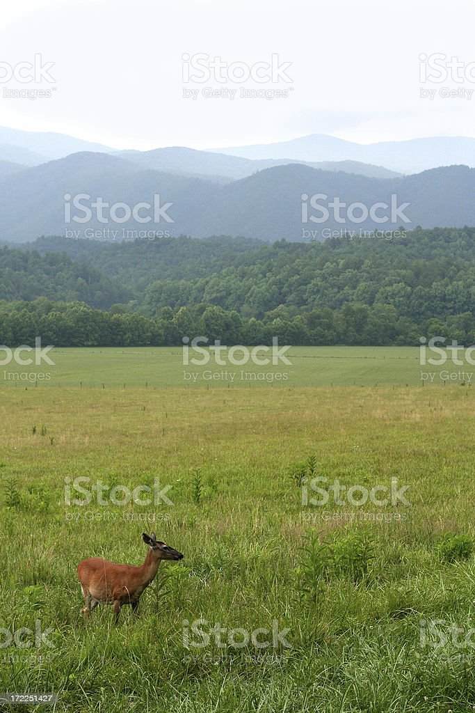 deer in the smoky mountains royalty-free stock photo