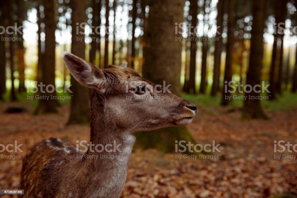 Reh im Wildpark stock photo